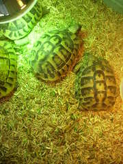 3 egg laying female herman tortoises