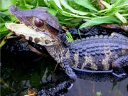 Cuvier's Dwarf Caiman for Sale