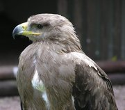 Female Tawny eagle for sale