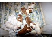 Qualities English Bulldogs Puppies